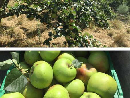 Bonne récolte de pommes