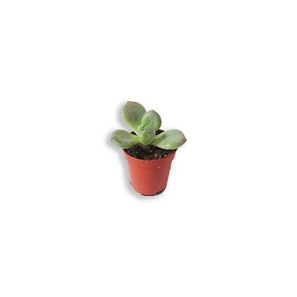 Pachyphytum brevifolium