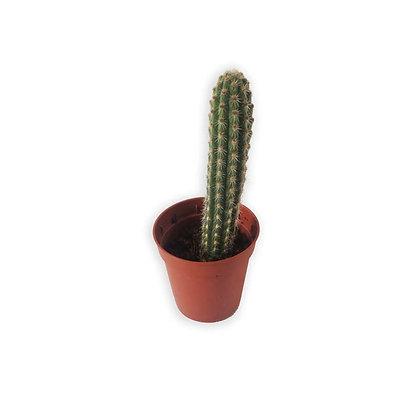 Cactus cierge