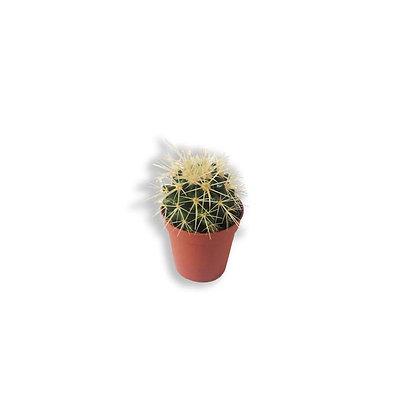 Le coussin de belle mère (Echinocactus)