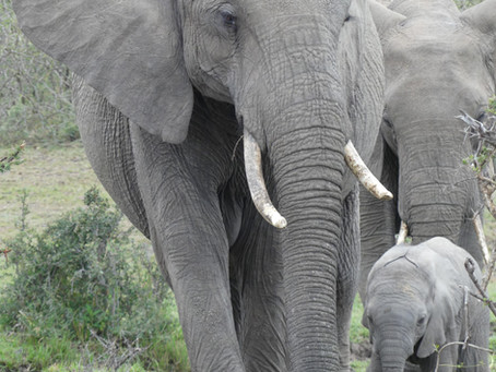 Tusks, Trophy Hunting and Trump