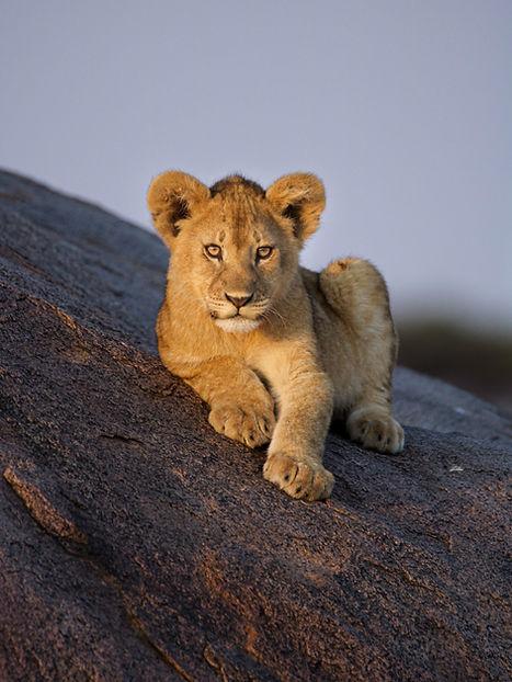 Lion cub lying on top of a kopje in the serengeti national park looking straight at the ca