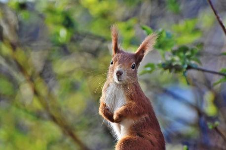 squirrel-5603496_1920.jpg