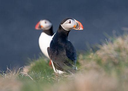 George Turner Puffin Photography Treshnish Isles Scotland