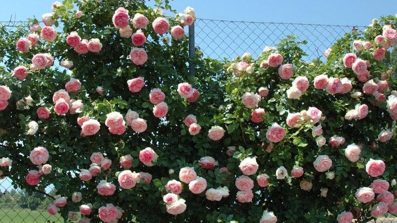 Rosa rampicante rosa