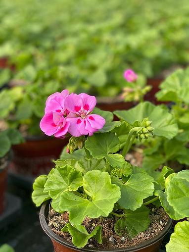 Geranio edera rosa.jpg