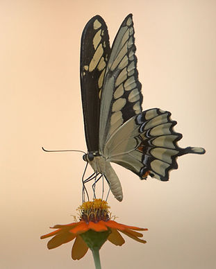vit fjäril