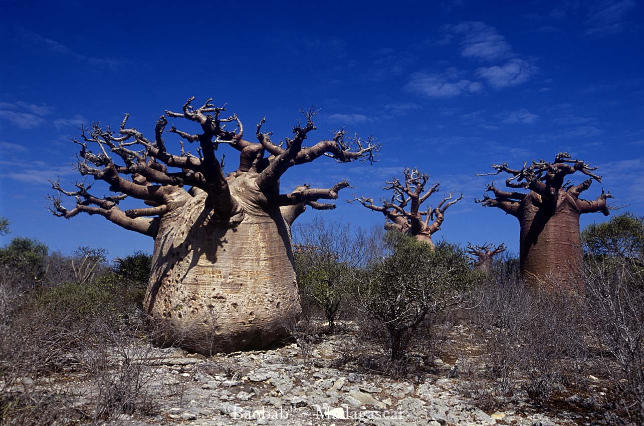 Baobab-mada