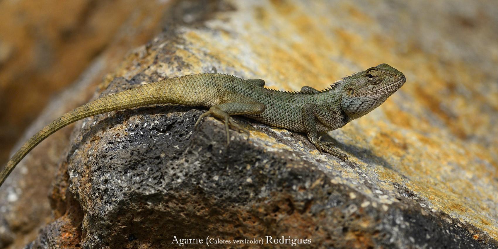 Agame-versicolor