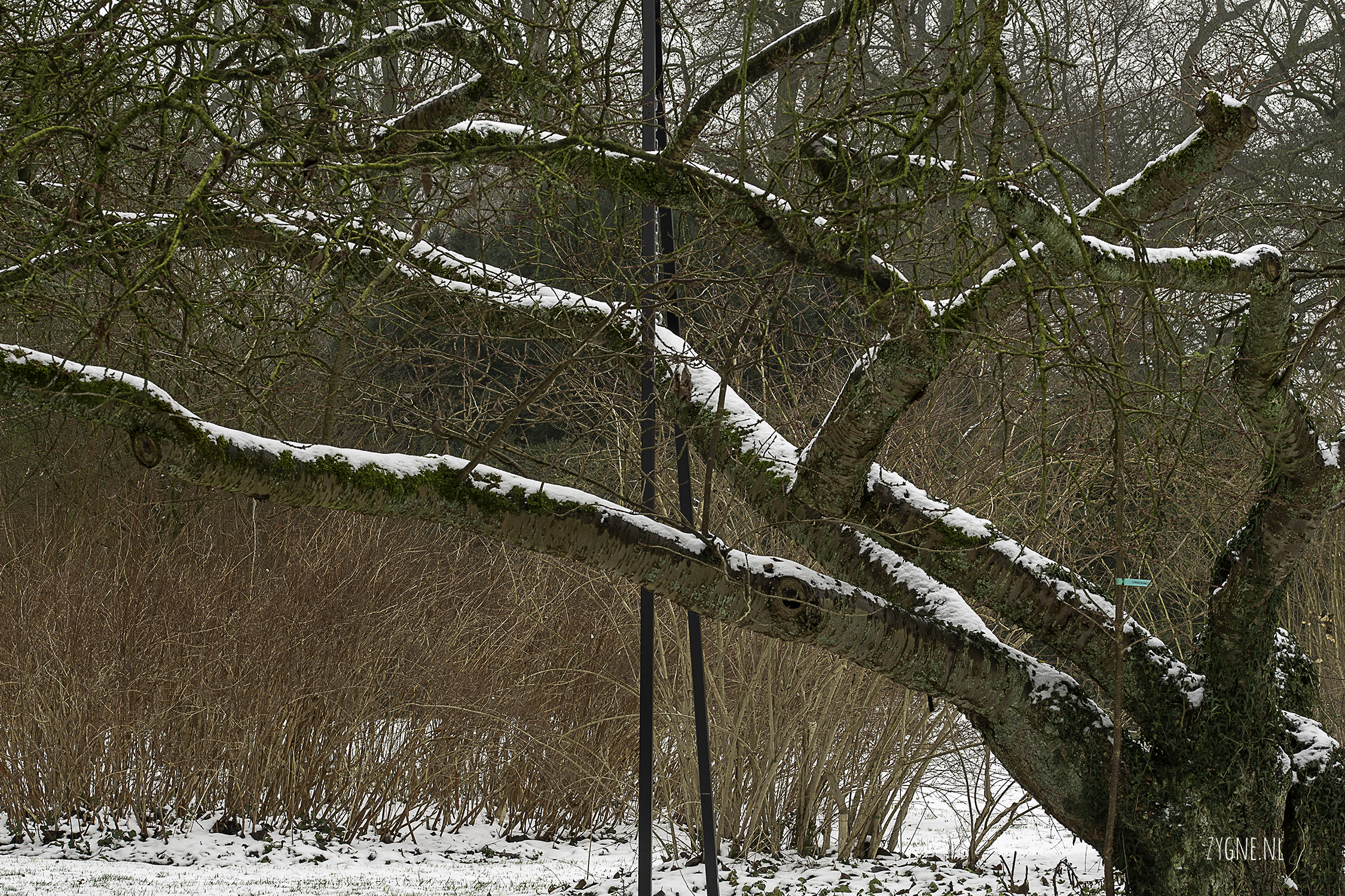 leunendeboom