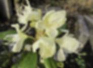 Rh. aureum ex Baikal meer.jpg