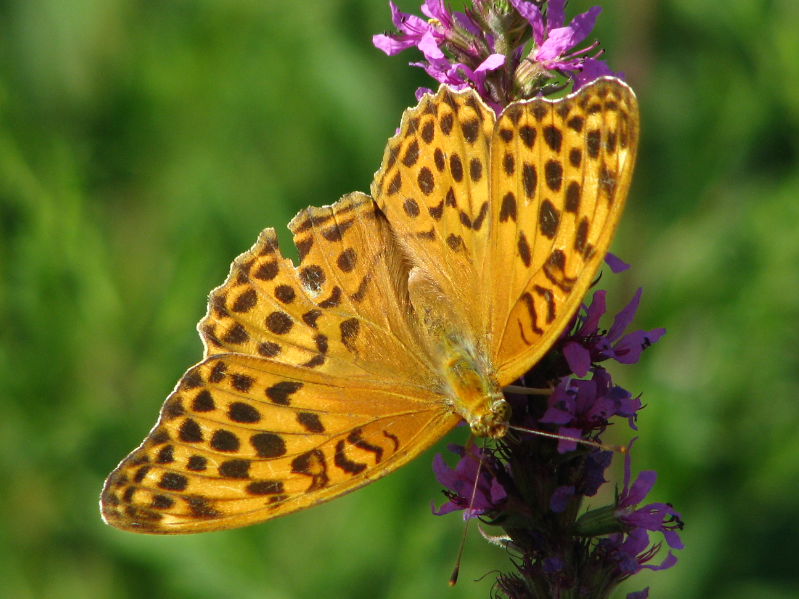 papillon (5)