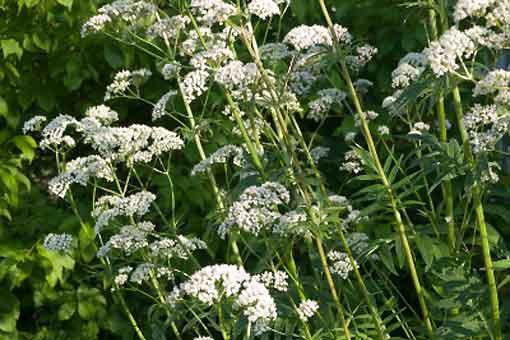 Valériane bio- fleurs