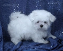 t_Mia F2aside_maltese puppies.jpg
