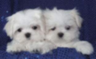 Maltese pair of puppies