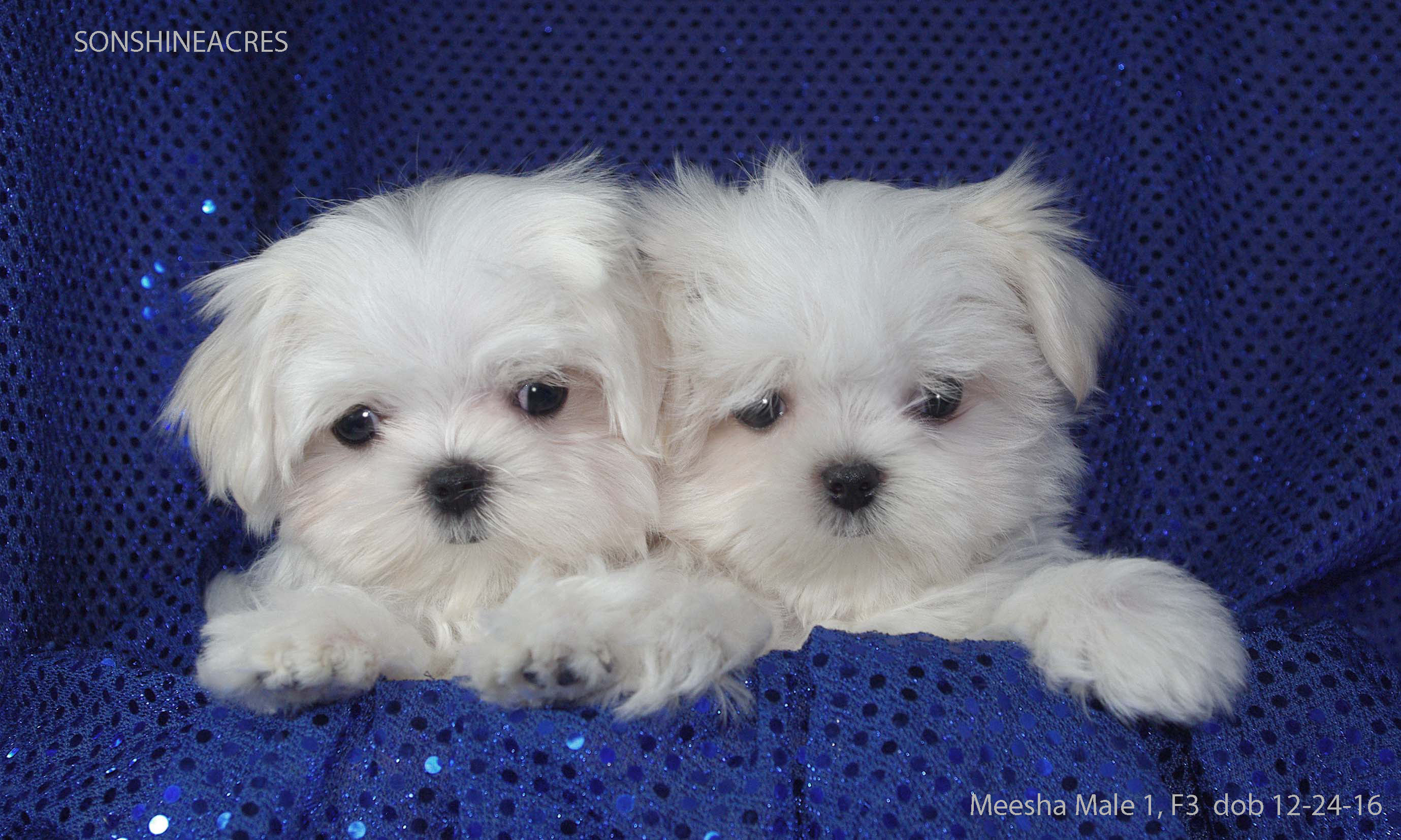 Maltese Puppies For Sale Maltesejoy Sonshine Acres Elmwood Ne