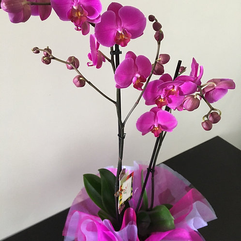 Orquídea Phalanópsia em Vaso