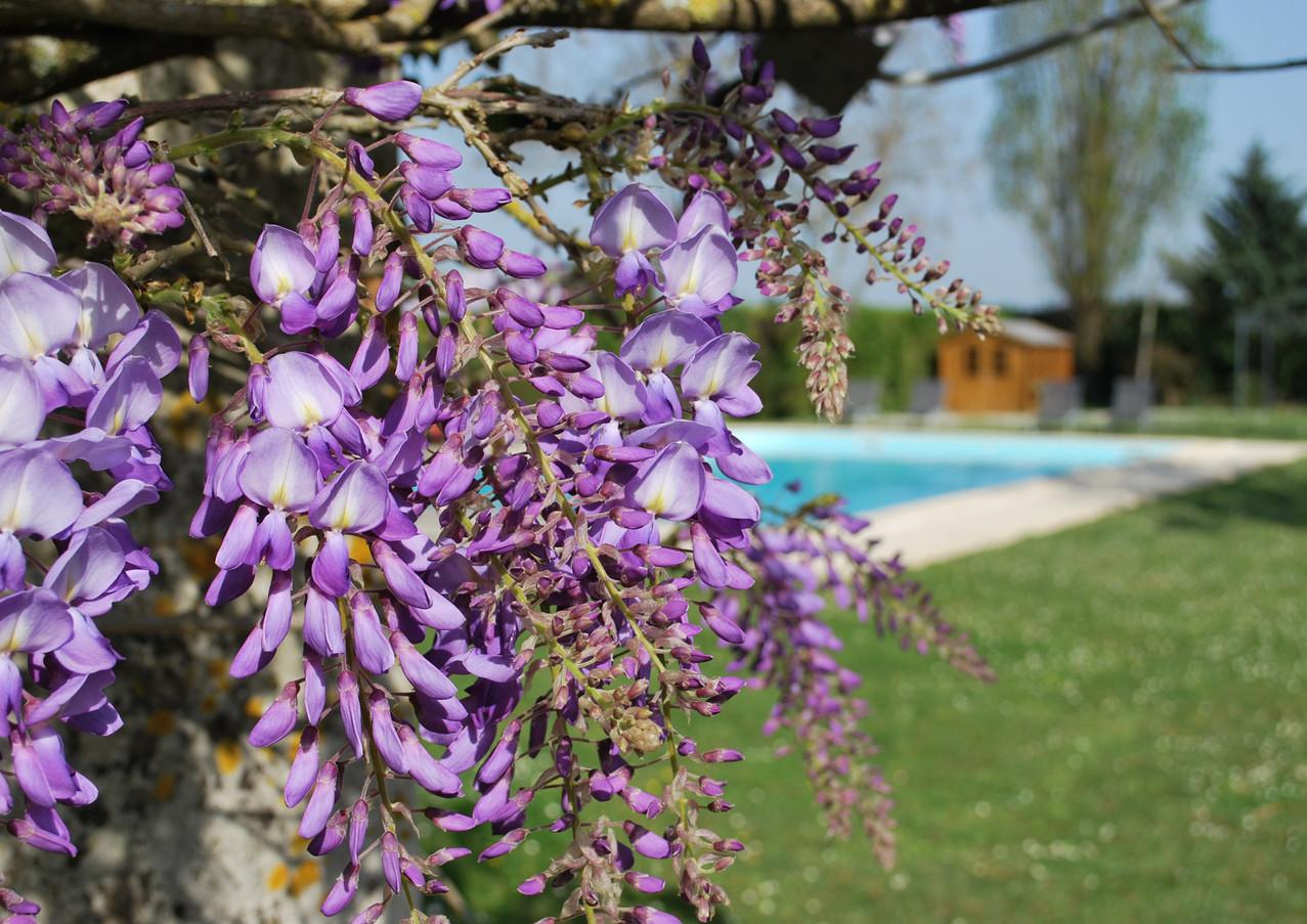 pool wisteria.jpg