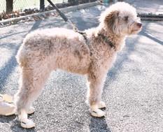 Poodle Wearing Bone RIFRUF Caesar 1 Dog Shoe On Concrete