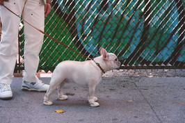 French Bulldog Wearing Bone RIFRUF Caesar 1 Dog Shoe Looking to the Right Outside