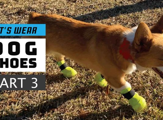 Dog Shoe Training, Part 3