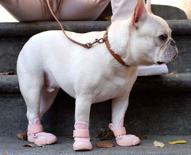 French Bulldog Outside Wearing Blush RIFRUF Caesar 1 Dog Shoe on Steps