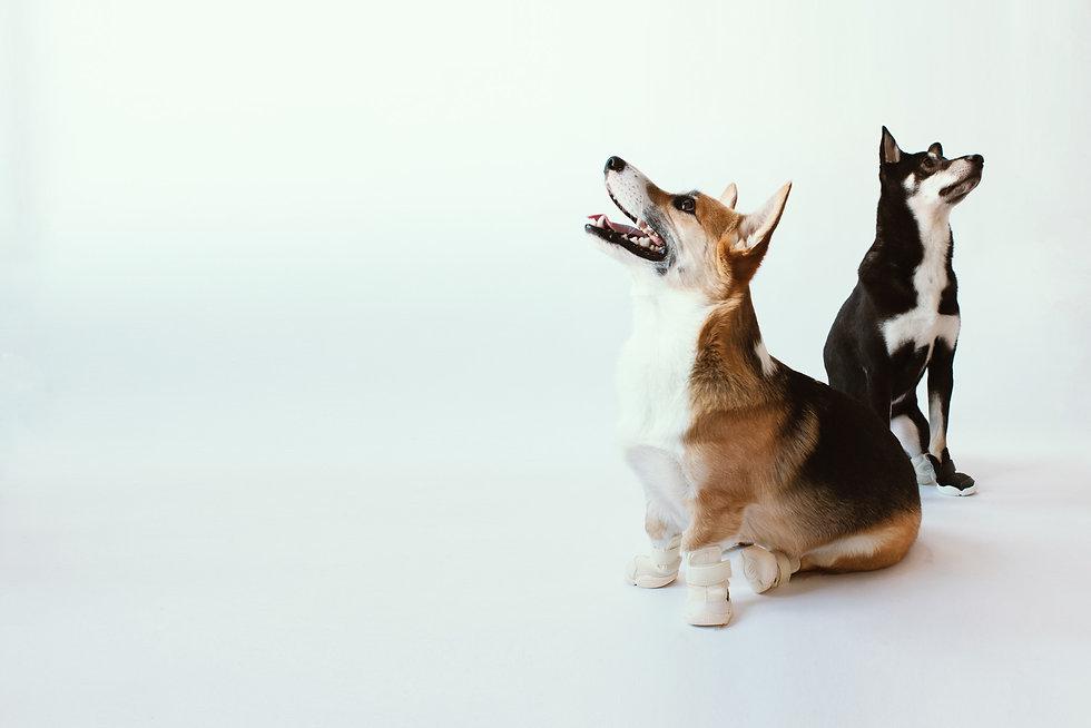Corgi Dog and Shiba Dog Wearing RIFRUF Caesar 1 In Studio