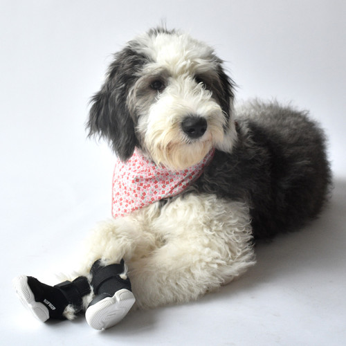 Poodle Wearing Black RIFRUF Caesar 1 Dog Shoe In Studio