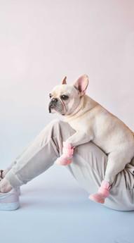 French Bulldog Sitting on Lap with Blush RIFRUF Caesar 1 Dog Shoe