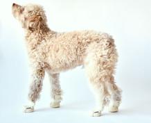 Poodle Wearing Bone RIFRUF Caesar 1 Dog Shoe Looking to the Left