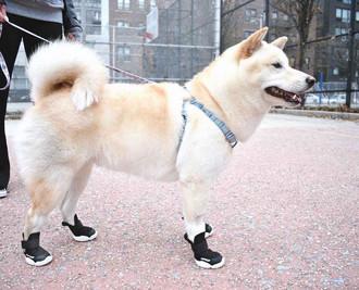 Shiba Inu Wearing Black RIFRUF Caesar 1 Dog Shoe on Concrete