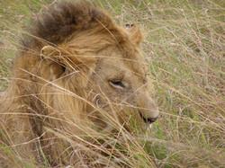 lionmale.JPG
