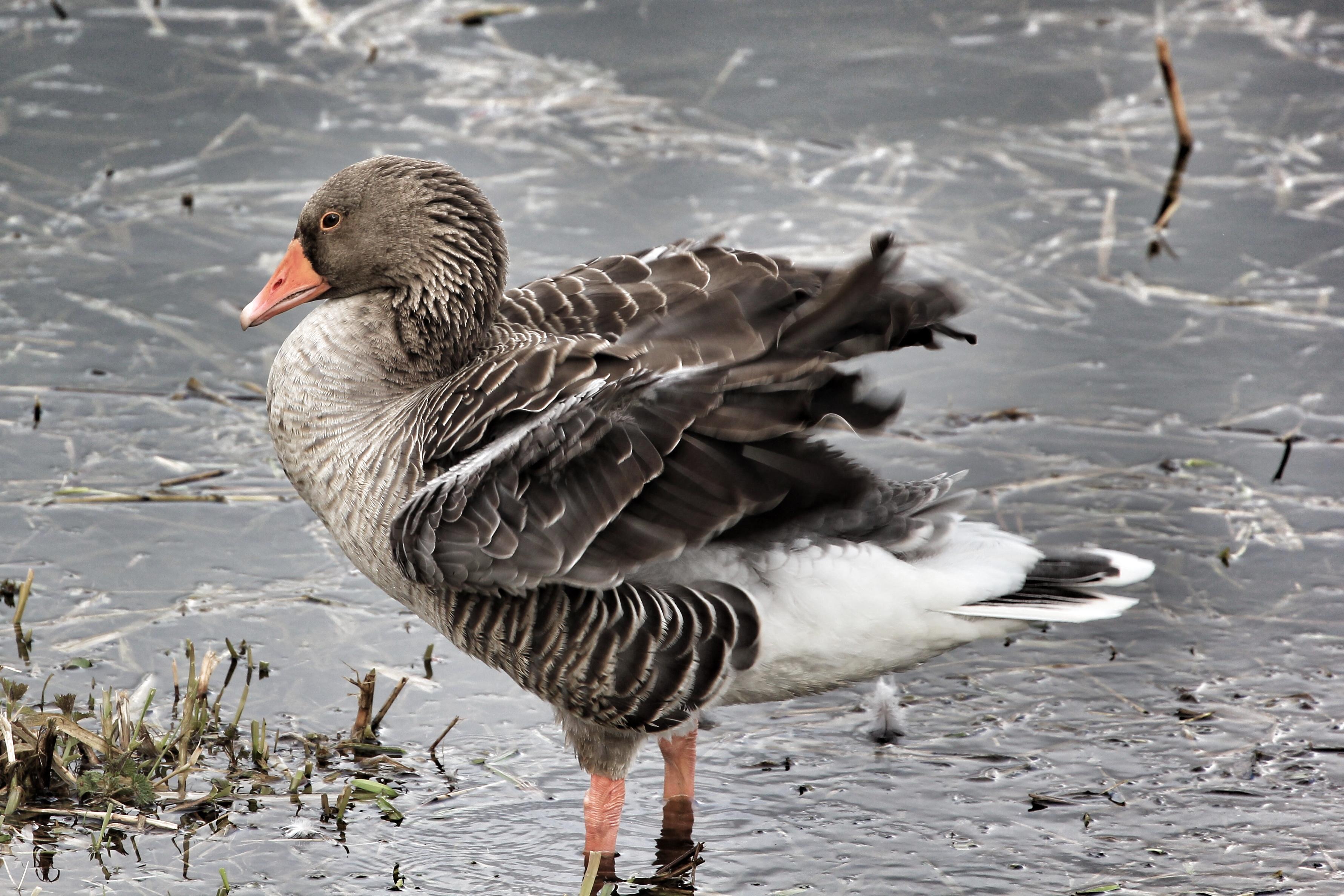 Goose, Strumpshaw Fen