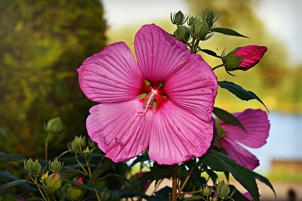 fleur d'hibiscus les bienfaits