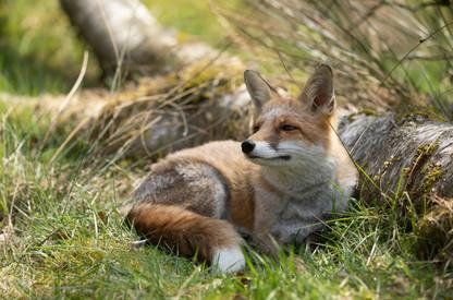 Foxy024.jpg