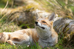 Foxy013.jpg