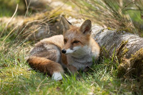 Foxy020.jpg