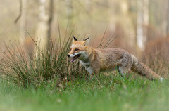 Foxy001.jpg
