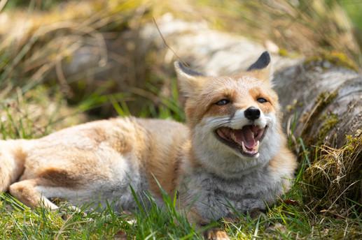 Foxy011.jpg