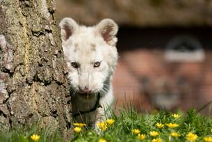 Tiger014.jpg