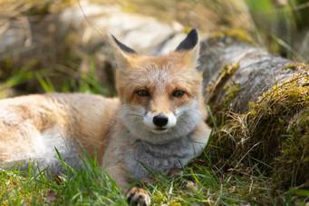 Foxy003.jpg