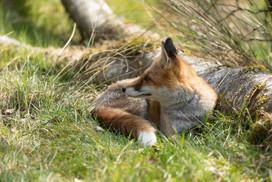 Foxy026.jpg