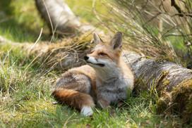 Foxy018.jpg