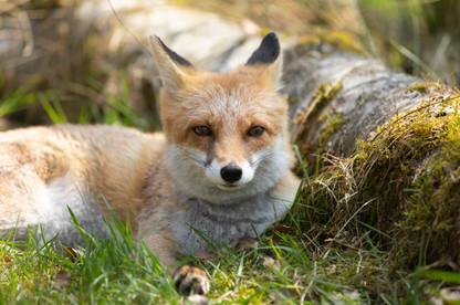 Foxy007.jpg