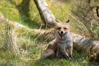 Foxy015.jpg