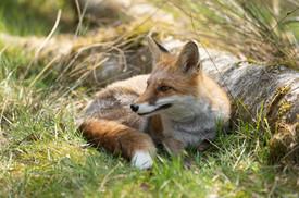 Foxy019.jpg