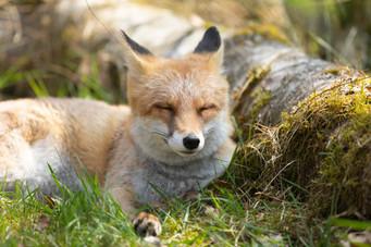 Foxy008.jpg