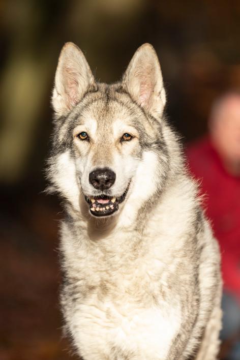 Wolfshound001.jpg