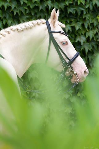 Ponyhengst8.jpg
