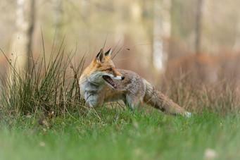Foxy002.jpg